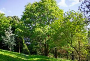 drzewa liściaste co sadzić